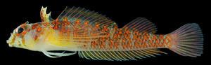 【水産・総合研究博物館】国内で50年ぶりに採集されたヘビギンポ科魚類にミカンヘビギンポと命名
