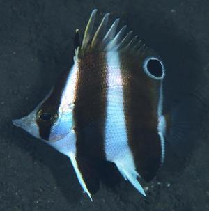 【研究成果:総合研究博物館】海のパンダ!?日本とフィリピンに生息するチョウチョウウオ科魚類の新種を発見、パンダゲンロクダイと命名