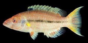 【研究成果:総合研究博物館】水産学部1年生が日本初記録のベラ科魚類にヒイロモチノウオと命名