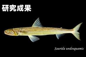 【研究成果:総合研究博物館】鹿児島の郷土料理「つけあげ」の原料に未知の魚!!本学学生が日本初記録のエソ科魚類を発見、「ツケアゲエソ」と命名