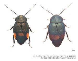 【農学部】坂巻 祥孝准教授らの研究チームが35年ぶりに日本からゴキブリを2種発見-森などに生息する美麗種-