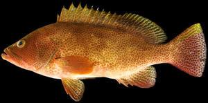 【水産学研究科】鹿児島の島嶼域から新種のハタ科魚類を発見、「マホロバハタ」と命名