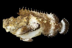 【博物館】オニダルマオコゼ属としては半世紀ぶりの新種発見