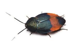 【農学部】美しいゴキブリを宮古島から新種として発表